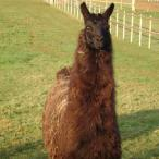 roseland llama
