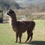 male llama
