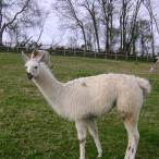llama sold