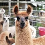 llamas ears