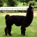 llama stud