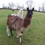 Springer Guard Llama