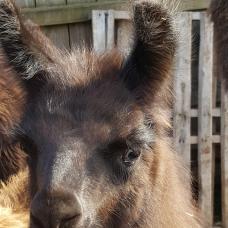 female llama for sale