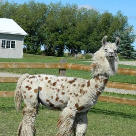 argentine llama stallion