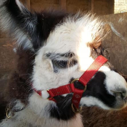 halter training llamas