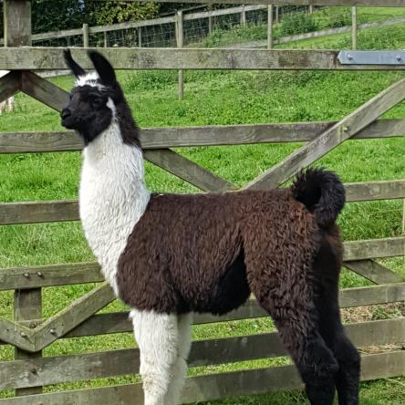 llamas for sale