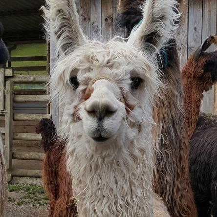 suri llama cria