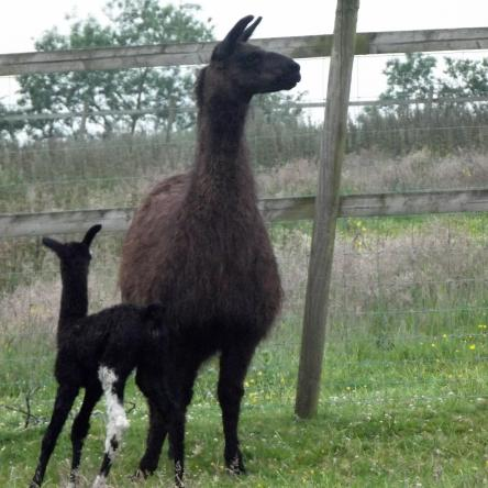 female llama and cria
