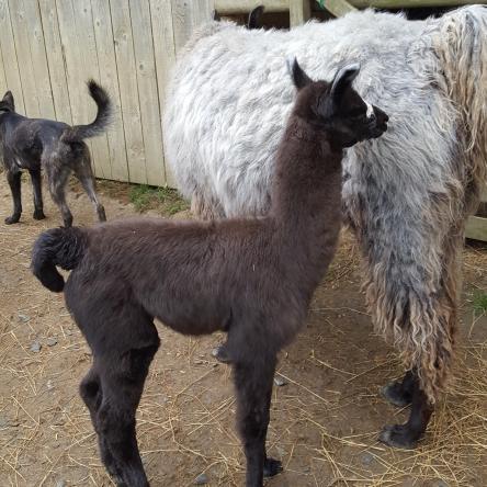 young llamas