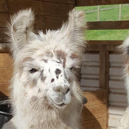 spotty llama