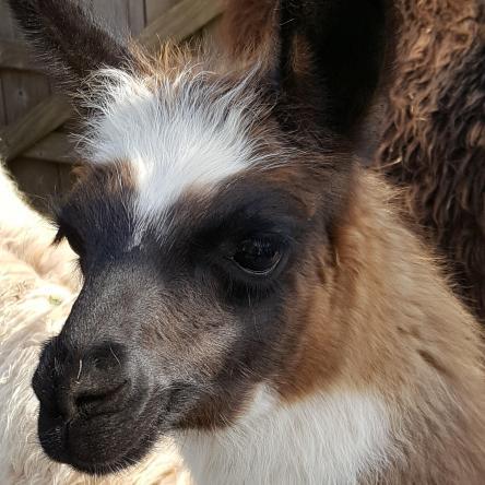 pretty llama