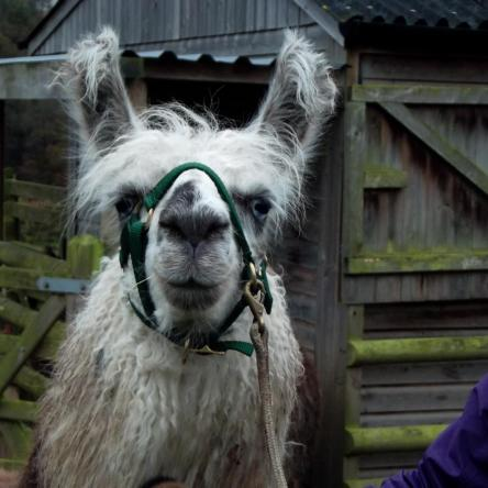 buying llamas