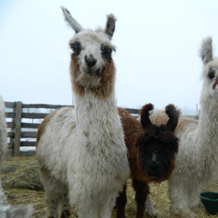 suri llamas