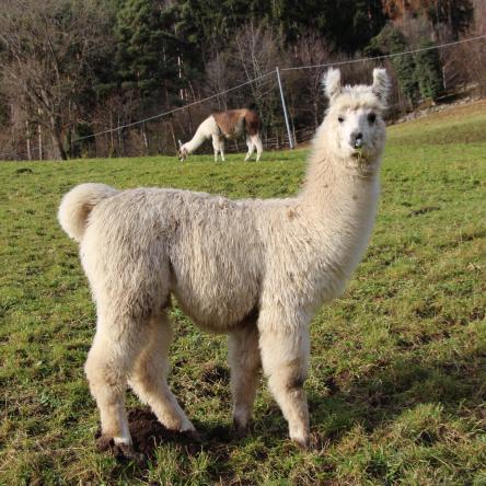 llama stud male