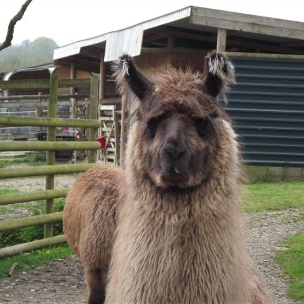male llama for sale