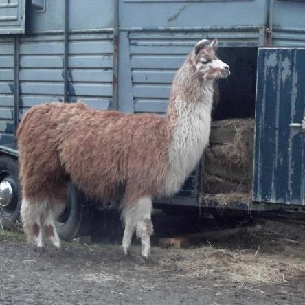 breeding llamas