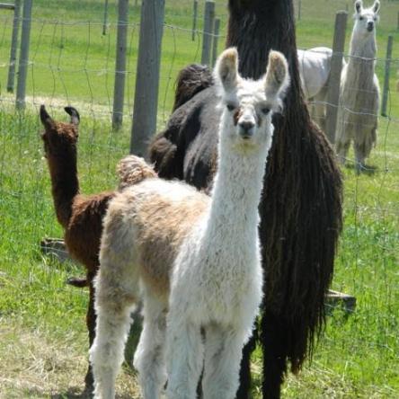 argentine suri llama