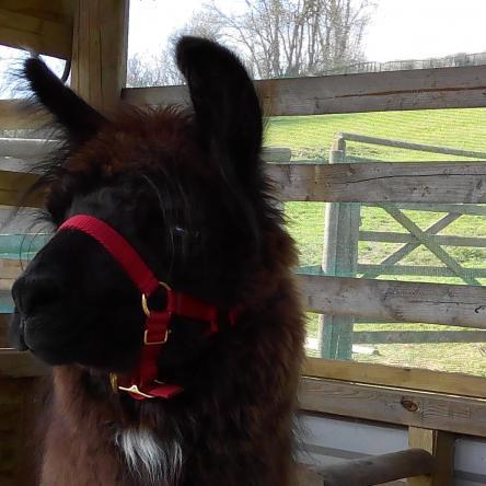 halter-training llamas