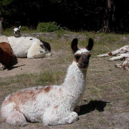 young male llama