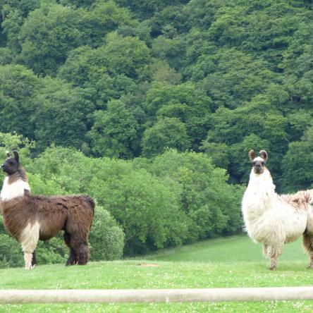 llama stallions