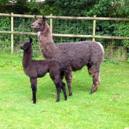 female llama with cria