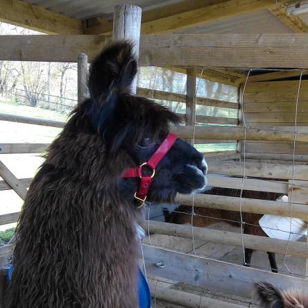 halter-trained llamas