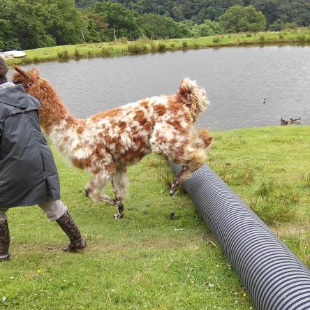 llama walks