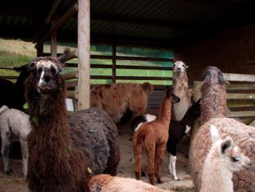 llama shelters