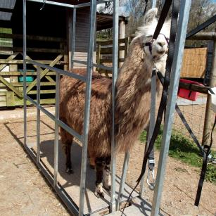 weighing llamas using the chute