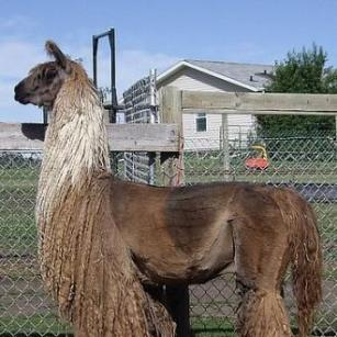suri llama champion