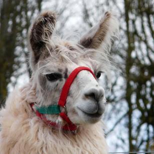 stud llama herd sire